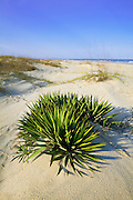 1300-1000 ~ Copyright: George H.H. Huey ~ Spanish dagger [Yucca gloriosa] in sand dunes on Cumberland Island.  Cumberland Island National Seashore, Georgia