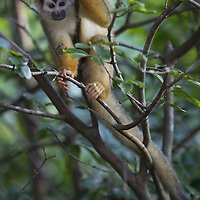 Central American Squirrel Monkey (Saimiri oerstedii), Osa Peninsula, Costa Rica