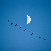 Sandhill Cranes fly past the moon in eastern Montana. Fall 1977