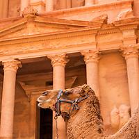 Jordan, Petra, Camel stands in front of The Al Khazneh or The Treasury at Petra amid ancient ruins