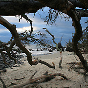 Jekyll Island Georgia drift log beach where there are hundreds of dead trees and driftwood beneath a stormy sky.