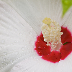 Luna blush hibiscus flower covered in water droplets after summer rain