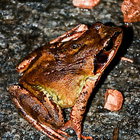 A garden toad sitting on a rock, his skin gleaming.