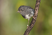 North Island Robin Pictures - Photos