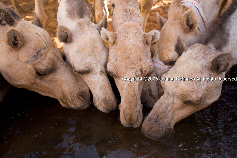 Camels, at Limrat Sudan, drinking water before they leave for Egypt to be sold.