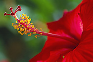 Closeup of the pistil and stamen of a Chinese Hibiscus flower which are quite prominent and elegant.
