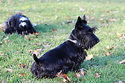 This is Katy, a year-old Scottish Terrier (Scottie)