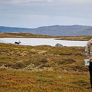 Reindeers - Skarvan og Roltdal nasjonalpark