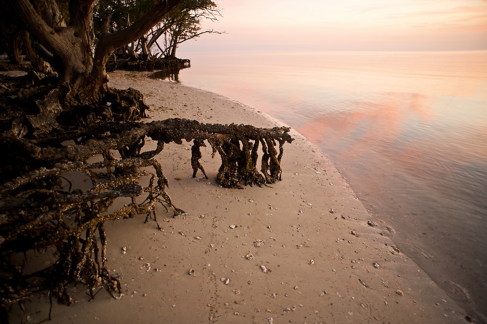 """The Seminole called the Red Mangrove """"Walking Trees"""" in reference to their bizarre appearance and the belief that they spread seaward as though they were walking"""