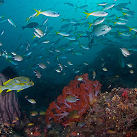 Plethora of Reef Fish