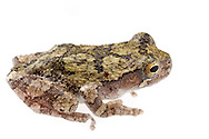Cope's Gray Tree Frog (Hyla chrysoscelis)<br /> United States: Alabama: Tuscaloosa Co.<br /> Tulip Tree Springs off Echola Rd.; Elrod<br /> 27-Oct-2016<br /> J.C. Abbott #2877