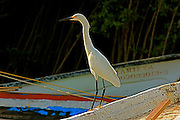 The Great Egret stands on the white wooden  fishing boat.