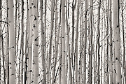 SHOT 10/3/14 11:22:02 AM - Trunks of aspen trees along Kebler Pass just outside of Crested Butte, Co. Aspens are trees of the willow family and comprise a section of the poplar genus, Populus sect. Populus. The Quaking Aspen of North America is known for its leaves turning spectacular tints of red and yellow in the autumn of the year (and usually in the early autumn at the altitudes where it lives). This causes forests of aspen trees to be noted tourist attractions for viewing them in the fall. These aspens are found as far south as the San Bernardino Mountains of Southern California, though they are most famous for growing in Colorado. Autumn leaf color is a phenomenon that affects the normally green leaves of many deciduous trees and shrubs by which they take on, during a few weeks in the autumn months, one or many colors that range from red to yellow. The phenomenon is commonly called fall colors and autumn colors, while the expression fall foliage usually connotes the viewing of a tree or forest whose leaves have undergone the change. In some areas in the United States &quot;leaf peeping&quot; tourism between the beginning of color changes and the onset of leaf fall, or scheduled in hope of coinciding with that period, is a major contribution to economic activity.<br /> (Photo by Marc Piscotty / &copy; 2014)