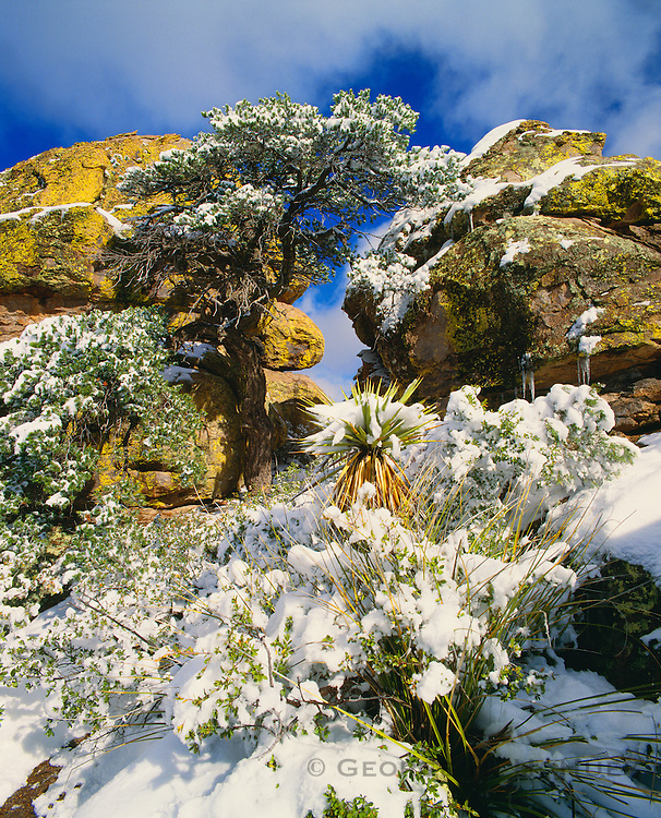0103-1041 ~ Copyright: George H. H. Huey ~ Mexican pinion pine [Pinus cembroides], Schotts yucca [Yucca schottii] and beargrass in winter. Chiricahua National Monument, Arizona.