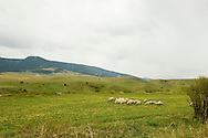 Sheep grazing, west of Livingston Montana