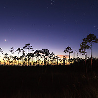 Night view of a silhouetted grove of slash pine trees near the Mahogany Hammock section of Everglades National Park, Florida.