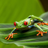 Costa Rica, Monteverde, Red-Eyed Tree Frog (Agalychnis callidryas) in captivity