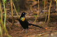 Wahnes's Parotia Bird-of-Paradise (Parotia wahnesi) male at his display court.