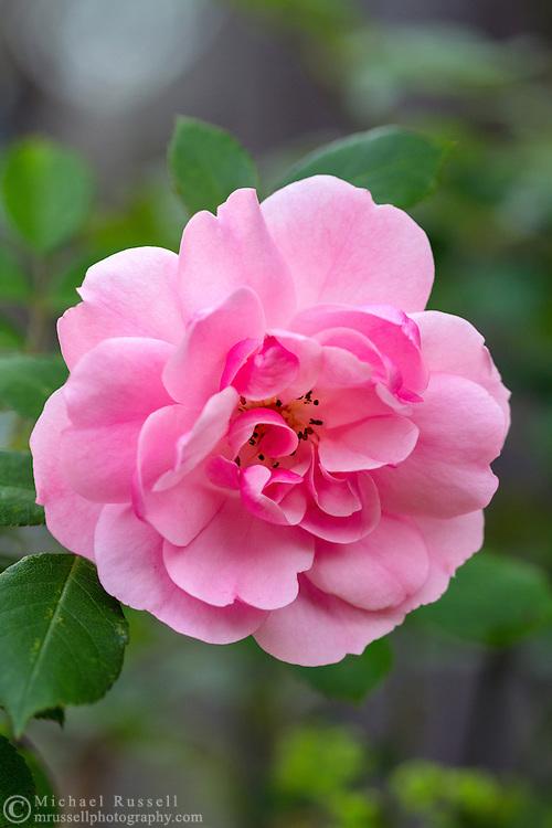 A 'Bonica' Rose blossoming in a backyard garden