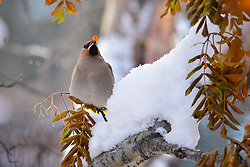 Bohemian Waxwing with mountain ash berry