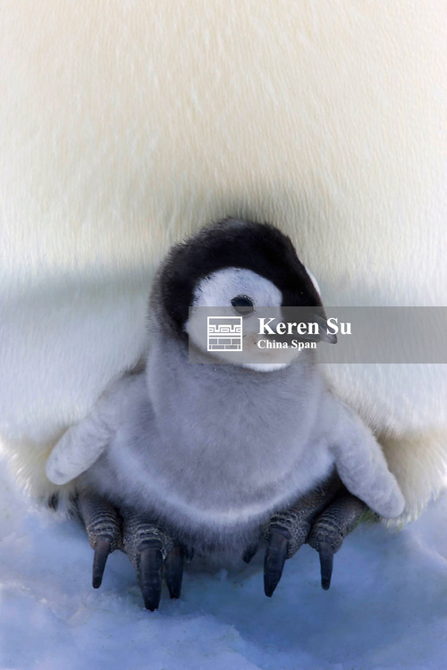 Emperor Penguin chick on parent's feet on ice, Snow Hill Island, Antarctica