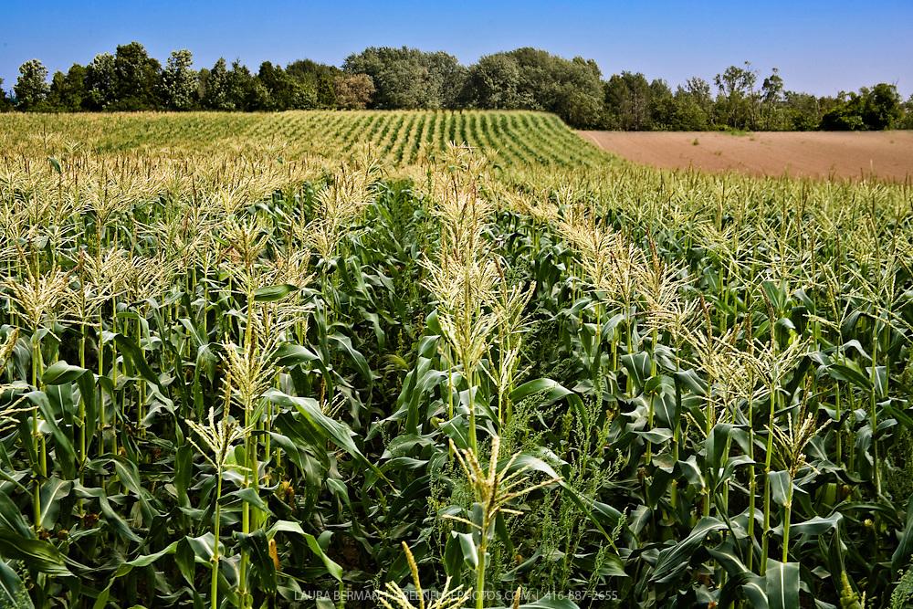 A corn field under a bright blue sky.