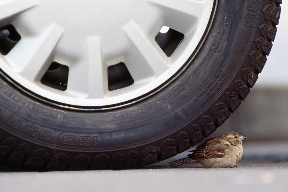 Female house sparrow under car tyre