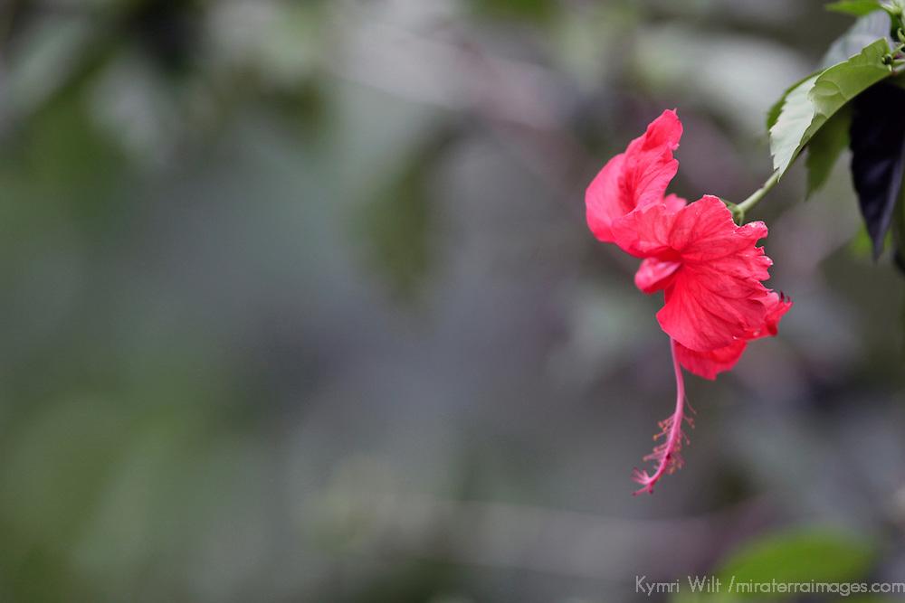 Central America, Costa Rica, Manual Antonio. Hibiscus Flower.
