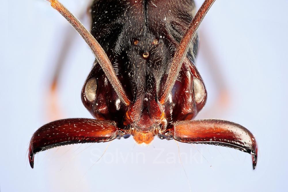 """[Digital focus stacking] Odontomachus sp. Bei einer übermächtigen Bedrohung lassen die Ameisen ihre Kiefer gegen den Boden zuschnappen und katapultieren sich so in eine sichere Entfernung. Ein Muskelapparat am Kopf erzeugt die enorme Beschleunigungsenergie, die die Kieferzangen der Ameisen in weniger als einer Millisekunde auf Rekordgeschwindigkeit bringt. Die Muskeln übertragen ihre Kraft in einer Art Federmechanismus, der wie ein gespannter Bogen schlagartig seine Energie freisetzen kann. So erreicht dieses System seine explosive Beschleunigung, die durch eine herkömmliche Muskelkontraktion nicht möglich wäre. Die Rekord-Ameisen der Art Odontomachus sp. leben in weiten Teilen Mittel- und Südamerikas. Sie ernähren sich vorwiegend von Termiten und anderen Ameisenarten. Picture was taken in cooperation with the """"Staatl. Museum für Naturkunde Karlsruhe""""."""