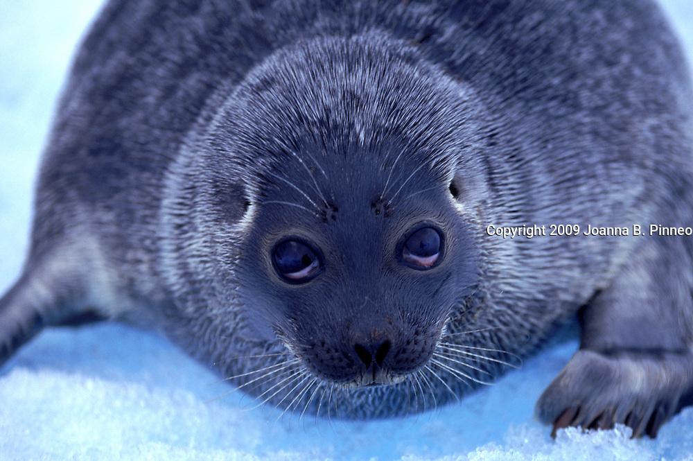 A baby seal sits on the ice of Arctic Bay.  It has strayed away from its ice hole. Aurora image #1891405501