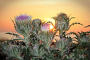 Beach thistles with a Jekyll Island sunrise in the background.