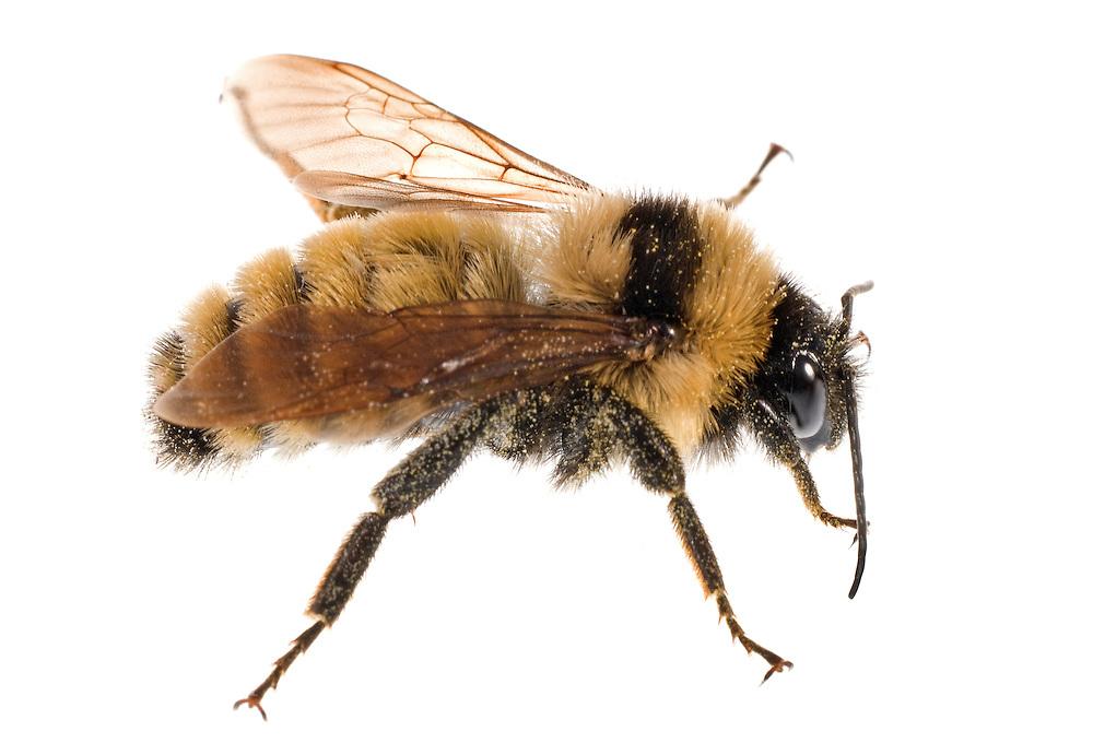 Yellow Bumble Bee (Bombus fervidus), male, Madison, Wisconsin