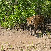 Esta imagen de un macho de jaguar silvestre (Panthera onca) fue tomada con una cámara de control remoto en los manglares de Marismas Nacionales, donde se está llevando a cabo una investigación estos felinos.