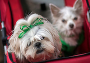 Dressed in their best ribbons and bows, Laney, left, and Lola, right, wait for the St. Patrick's Day parade to start with their owner Nancy Montesinos, Tuesday, March 17, 2015, in Savannah, Ga. The St. Patrick's Day tradition in Savannah dates back to the first parade held on March 17, 1824. (AP Photo/Stephen B. Morton)