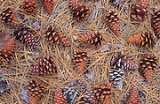 Pine cones and needles on forest floor, Figueroa Mountain, Los Padres National Forest, California