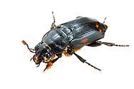 Sexton Beetle (Nicrophorus pustulatus)<br /> ALABAMA: Tuscaloosa Co.<br /> Tulip Tree Springs off Echola Rd.; Elrod<br /> 10-April-2016<br /> J.C. Abbott #2794 &amp; K.K. Abbott