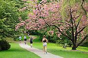 Cherry tree in bloom and people jogging, bicycling and walking on Azalea Way footpath  in Washington Park Arboretum; Seattle, Washington.