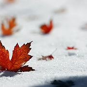 SHOT 10/18/2006 - The first snow of the fall season covers the ground at Berkeley Park in Denver, Colo. knocking some of the fall foliage off the trees and onto the ground. Snow is a type of precipitation in the form of crystalline water ice, consisting of a multitude of snowflakes that fall from clouds. Since snow is composed of small ice particles, it is a granular material. It has an open and therefore soft structure, unless packed by external pressure..(Photo by MARC PISCOTTY/ © 2006)