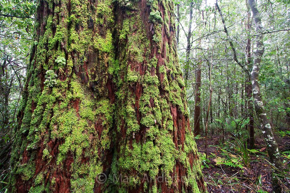 A beautiful moss covered tree (Nothofagus moorei) in lush temperate rainforest, Barrington Tops National Park, Australia