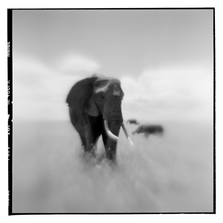 Africa, Kenya, Masai Mara Game Reserve, Blurred black and white image of Elephant standing in tall grass on savanna