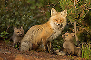 Fox kits form strong bonds with both their mother and father. When the kits are young, the adults must hunt continuously to provide food for their hungry brood. Here two young kits gaze adoringly at their mother before she leaves them to search for more food.