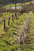 Pruning pinot noir at WillaKenzie Estate Vineyards, Yamhill-Carlton, Willamette Valley, Oregon