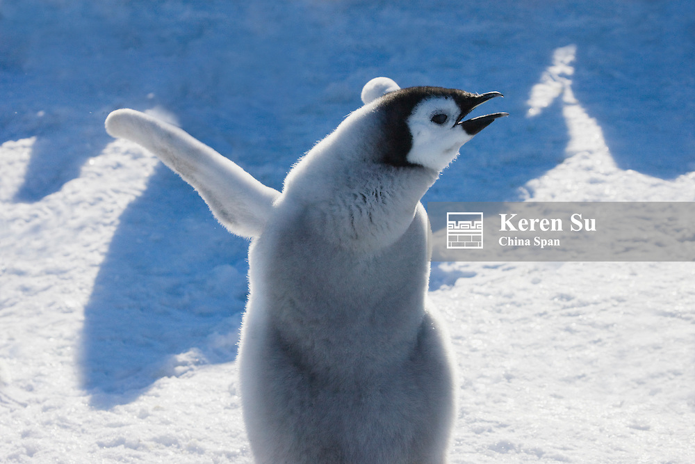 Emperor Penguin chick on ice, Snow Hill Island, Antarctica