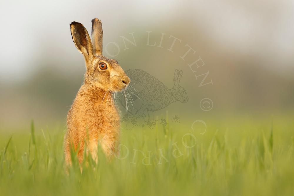 European Hare (Lepus europaeus) adult alert in barley crop, Norfolk, UK. May.