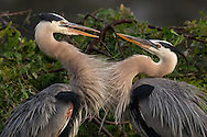 The courtship behavior of the great blue heron is quite elaborate. Even after a pair bond is established, an abbreviated courtship display is performed as a greeting ceremony each time one joins the other at the nest site.