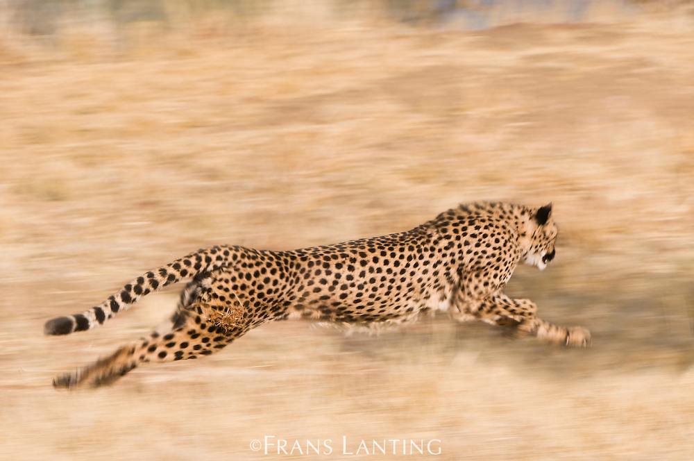 Cheetah running, Acinonyx jubatus, Cheetah Conservation Fund,Namibia