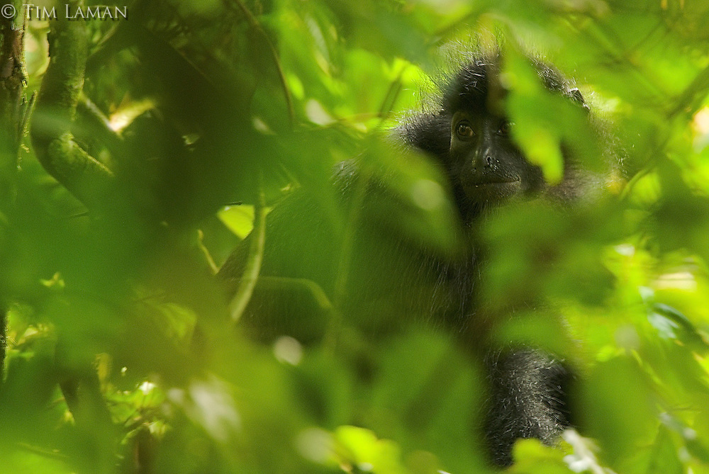 Endangered Black Colobus (Colobus satanus satanus) monkey in the rain forest of Bioko Island, Equatorial Guinea, West Africa.  Endangered Species (IUCN Red List: EN)