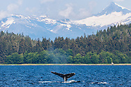 Humpback Whale diving in Seymour Canal with Sum Dum Mountain in the background in the Inside Passage of Southeast Alaska.   Afternoon.