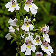 Eyebright flowers, Nydia Track, South Island, New Zealand