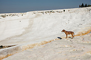 A dog near the cliff at Pamukkale. The hard, white mineral deposits, which from a distance resemble snow, are caused by the high mineral content of the natural spring water which runs down the cliff and congregates in warm pools on the terraces. This is such a popular tourist attraction that strict rules had to be established in order to preserve its beauty, which include the fact that visitors may no longer walk on the terraces. Those who want to enjoy the thermal waters, however, can take a dip in the nearby pool, littered with fragments of marble pillars.